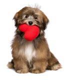 Το havanese σκυλί κουταβιών εραστών κρατά μια κόκκινη καρδιά στο στόμα της Στοκ Φωτογραφία