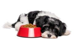 逗人喜爱的Havanese小狗在红色碗狗食旁边说谎 库存照片