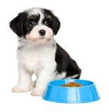 坐在一个蓝色食物碗旁边的逗人喜爱的Havanese小狗 库存图片