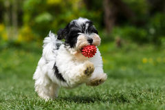 跑与他的球的嬉戏的havanese小狗 图库摄影