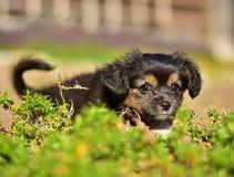 Havanese bichon小小狗 库存图片