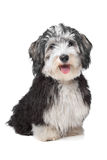 Havanese Bichon. In front of a white background Stock Image