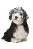 Havanese Bichon. In front of a white background Stock Photography