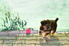 Havanese bichon havanais小狗 免版税库存照片
