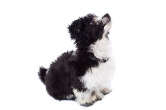 Havanese Bichon Looking Up Stock Photos