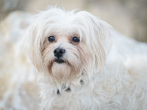 Havanese Bichon white dog pet Royalty Free Stock Photography