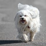 Havanese breed a dog Stock Photo