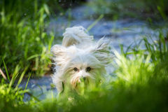 Havanese comes storming Royalty Free Stock Photos