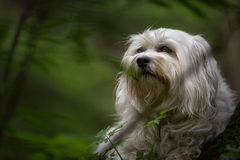 Havanese in the countryside Stock Photography