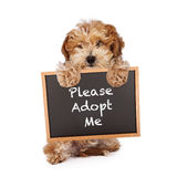 Havanese Crossbreed Holding Adopt Me Sign