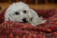 Havanese dans son lit de chien Image libre de droits