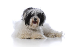 Havanese dog Stock Photos