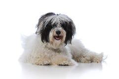 Havanese dog Stock Photos