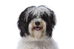 Havanese dog Royalty Free Stock Images