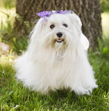 Havanese Dog Royalty Free Stock Photo