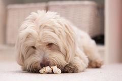 Havanese dog with a bone Stock Photography