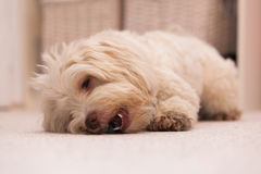 Havanese dog with a bone Royalty Free Stock Images