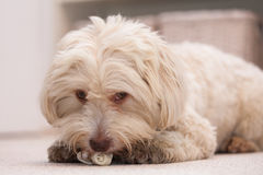 Havanese dog with a bone stock photos