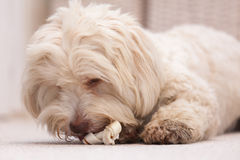 Havanese dog with a bone Stock Images