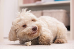 Havanese dog with a bone Royalty Free Stock Photography