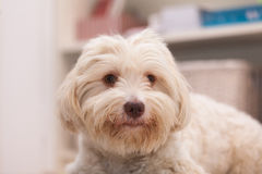 Havanese dog with a bone. White havanese dog lying on the floor chewing a white bone Royalty Free Stock Photos