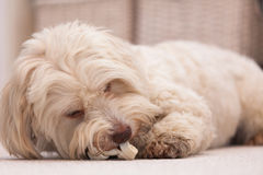 Havanese dog with a bone Royalty Free Stock Image