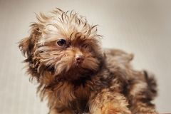 Havanese dog at home. Beautiful small puppy royalty free stock image
