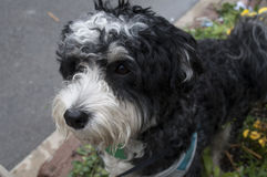 A Havanese Dog Royalty Free Stock Photography
