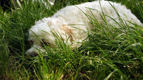 Havanese dog lies in the grass Royalty Free Stock Photography