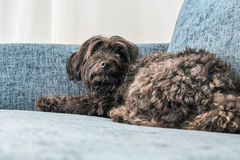 Havanese dog lying on a blue couch sdfsdf Royalty Free Stock Photos