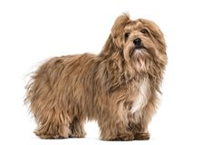 Havanese dog , 8 months old, standing against white background. Isolated on white Stock Image