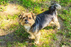 Havanese dog outdoor. Royalty Free Stock Images