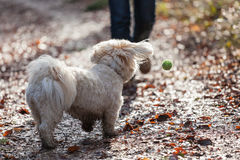 Havanese dog playing with a ball Royalty Free Stock Photos