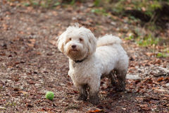 Havanese dog playing with a ball Royalty Free Stock Photo