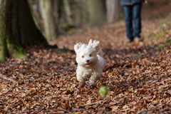 Havanese dog playing with a ball Royalty Free Stock Photography
