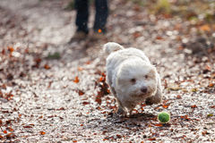 Havanese dog playing with ball Stock Photo