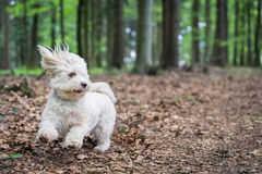 Havanese dog playing in the woods Royalty Free Stock Photo