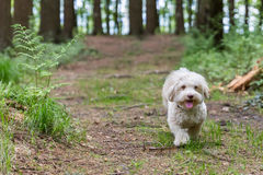 Havanese dog playing in the woods Stock Image