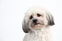 Havanese dog portrait Stock Images