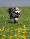 A havanese dog running in the grass at the park. A small dog running in a field of grass and dandelions with a tiny spider over his head Royalty Free Stock Photo