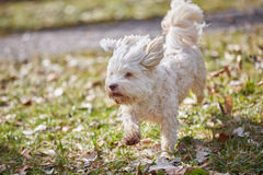 Havanese dog running on the grass. In the park in springtime Royalty Free Stock Photo