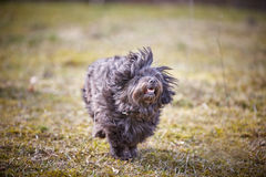 Havanese dog running on the grass. In the park in springtime Stock Photography