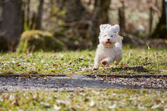 Havanese dog running on the grass. In the park in springtime Stock Image