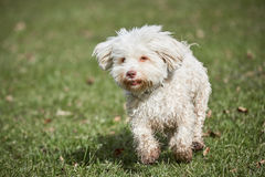 Havanese dog running in the park in springtime. Havanese dog running on the grass in the park in springtime Stock Image