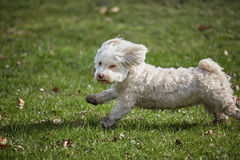 Havanese dog running in the park in springtime. Havanese dog running on the grass in the park in springtime Stock Photos