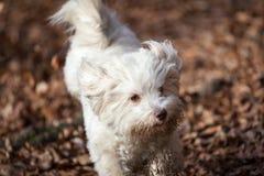 Havanese dog running Stock Image