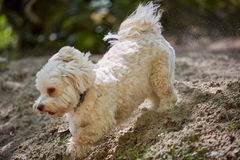 Havanese dog running a sand Royalty Free Stock Photography