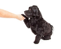 Havanese Dog Sitting and Preforming Paw Shake Stock Image