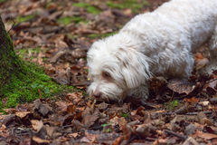 Havanese dog sniffing Royalty Free Stock Photo