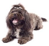 Havanese dog standing with mouth open Stock Photo